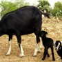 Black bengal goat with her two kids