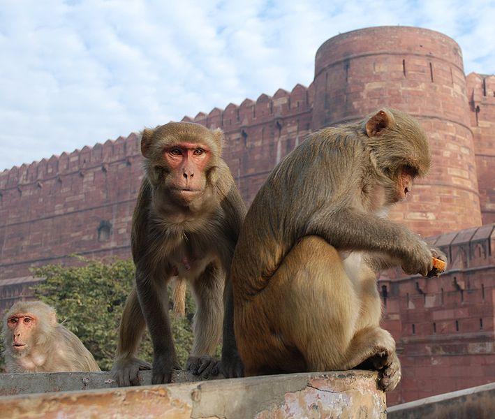 Resus Monkey