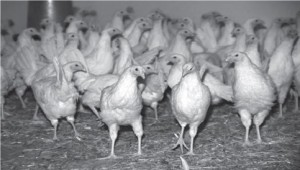 poultry contact